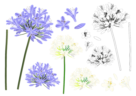 Blue Purple Agapanthus Outline - Lily of the Nile, African Lily. Vector Illustration. isolated on White Background.