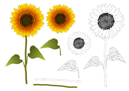 Sunflower or Helianthus Outline. Vector Illustration. isolated on White Background. Vettoriali