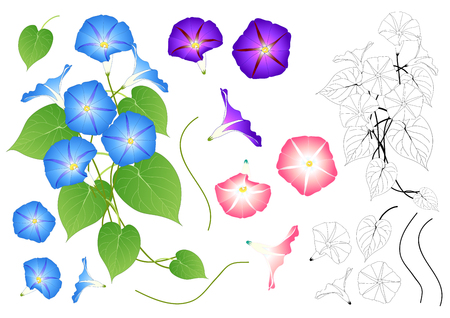 Blue Pink and Purple Morning Glory Outline. isolated on White Background. Vector Illustration. 일러스트