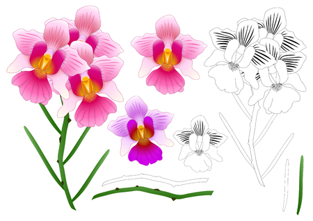 Vanda Miss Joaquim Orchid Outline.   isolated on White Background. Vector Illustration.