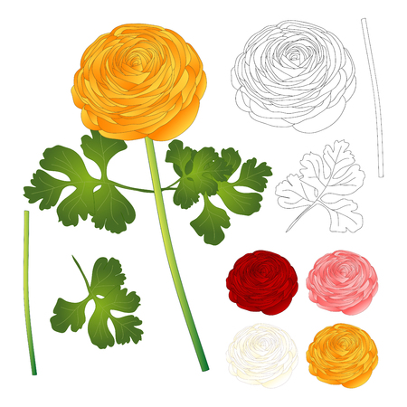 Red, Pink, White, Yellow Ranunculus Flower and outline. Vector Illustration. isolated on White Background.