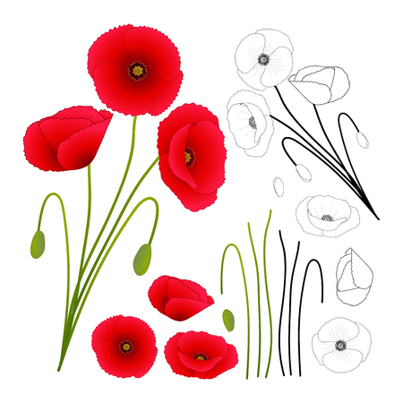 Papaver rhoeas (or common poppy,corn poppy,corn rose,field poppy,Flanders poppy or red poppy) isolated on White Background. Vector Illustration.