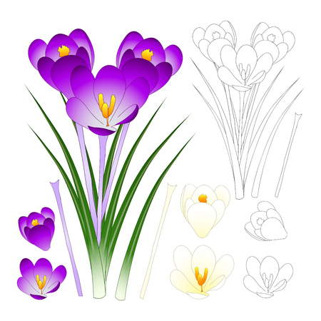 Purple and White Crocus with Outline isolated on White Background. Vector Illustration.