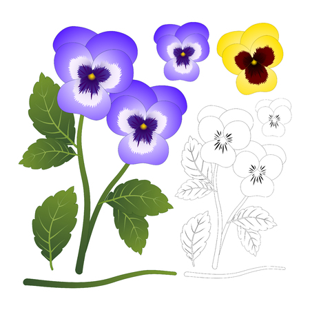 Violet and Yellow Viola Garden Pansy Flower with Outline isolated on White Background. Vector Illustration.