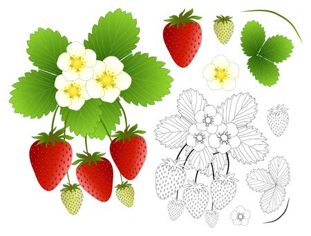 Strawberry, Flower and Outline isolated on White Background. Vector Illustration.
