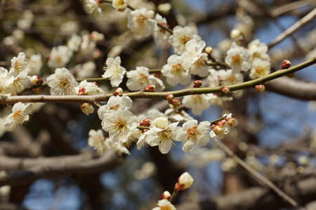 Spring Japanese plum blossoms are in bloom