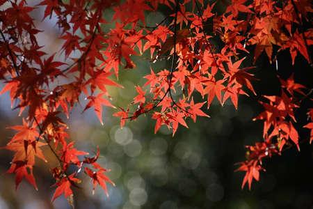 Maple autumn leaves in Japan Imagens