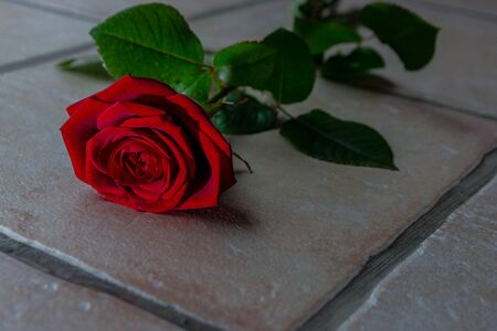 Red rose with green leaves lying on the ground