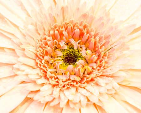 deep focus: Gerbera is very popular and beautiful deep focus. Stock Photo