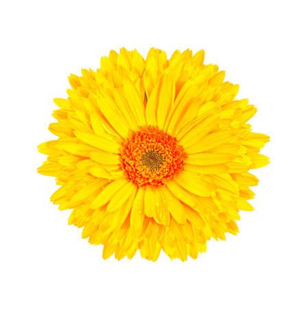 yellow gerbera isolated on: yellow gerbera flower isolated white background Stock Photo