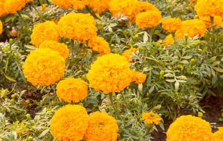 african marigold: Marigolds flower Tagetes erecta, Mexican marigold, Aztec marigold, African marigold