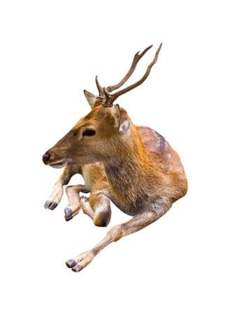 cervus: Deer cute patterned spots deer isolated on white background.