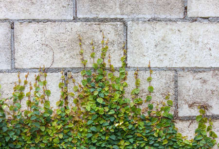creeper: The Green Creeper Plant on the Wall. Stock Photo