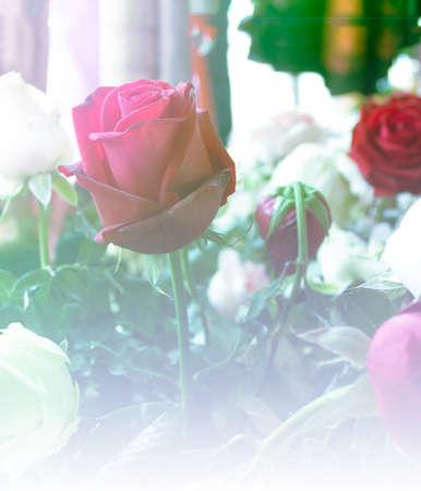 rose flower nature background design love Valentines day for design background color filter
