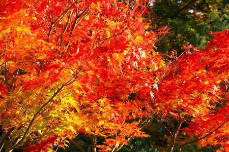 Autumn Leaves in Yamagata  Japan