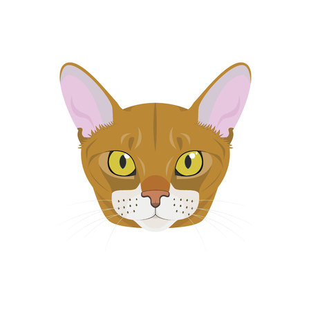 Abyssinian cat isolated on white background vector illustration