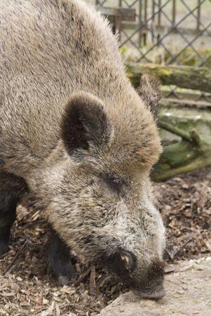 Wild boar Stock Photo - 2839288
