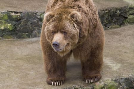 kodiak: Brown bear close-up in zoo Stock Photo