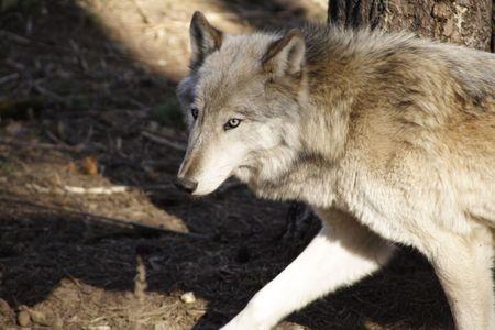 perro asustado: Wolf