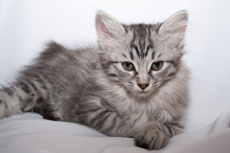 Kurilian bobtail Stock Photo - 4132203