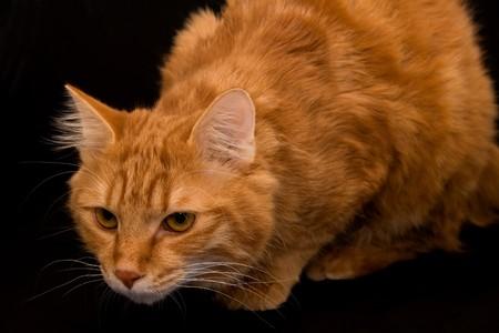 bobtail: Kurilian bobtail cat