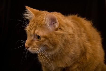 Kurilian bobtail cat photo