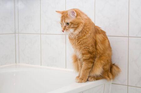 kurilian bobtail: Kurilian bobtail on bath