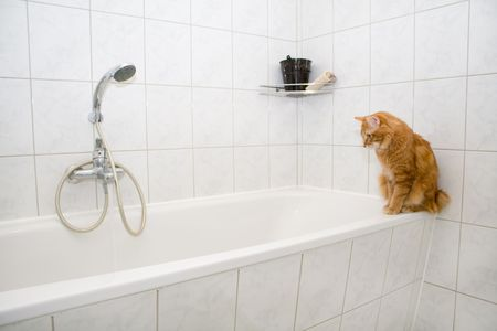 Kurilian bobtail on bath photo