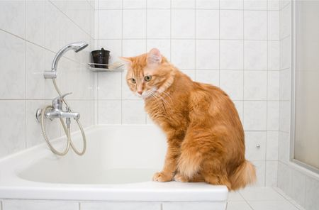 bobtail: Kurilian bobtail on bath