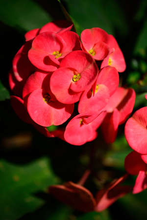 poi: crown of thorns, Christ Thorn , poi sian flowers   this is a Flower  in the garden   and beautyfull time  Stock Photo