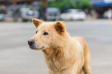 labrador teeth: portrait of beautiful brownd dog Stock Photo