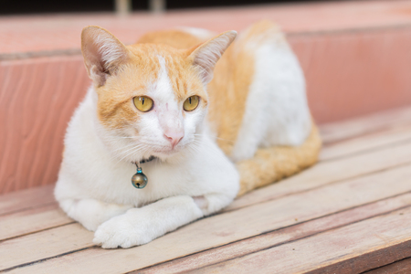 white-brown Cat and Yellow cat eyes crouched on the wooden floor