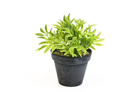 Decorative grass in flowerpot, House plant on a white background,Isolated on white background