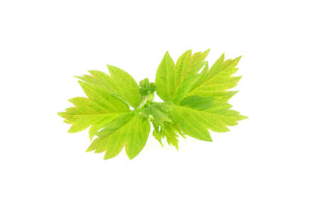 rowth: Green leaves isolated on white background.