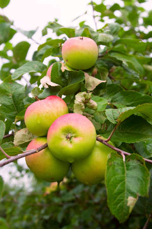 Fresh apple ready to be picked on the farm Stock Photo