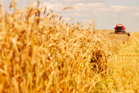 cosechadora: Una moderna cosechadora trabajando un campo de trigo