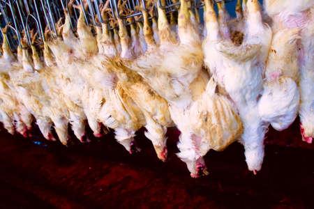 pollo semi-terminado en la fábrica listos para su envío