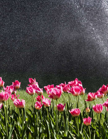Red tulips on the green lawn watered photo