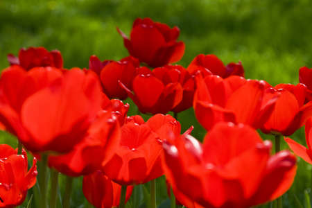 Red tulips against a background of green grass