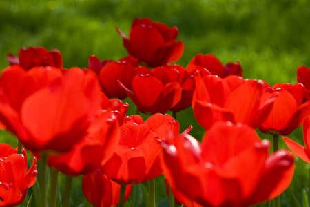Tulipanes rojos sobre un fondo de hierba verde