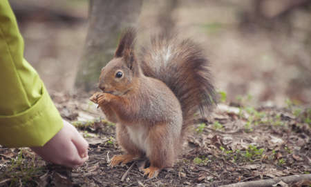 Squirrel in the park. Red squirrel. Squirrel eats on the grass Foto de archivo