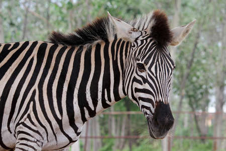 head close up: Zebra head close up Stock Photo