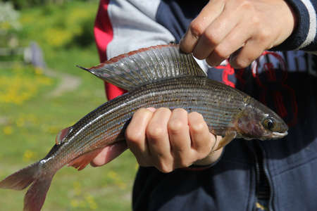 grayling: Grayling (arctic char) in the hands of the fisherman closeup