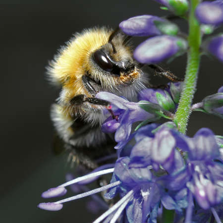 Shaggy bumblebee sitting on a blue flower macro photo
