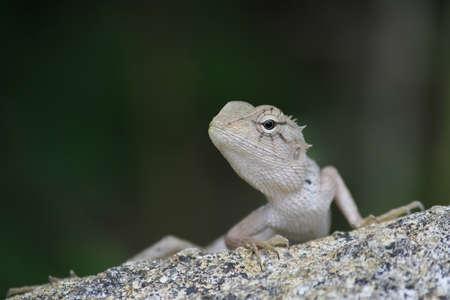 Iguana on a rock on a dark green blurred background closeup photo