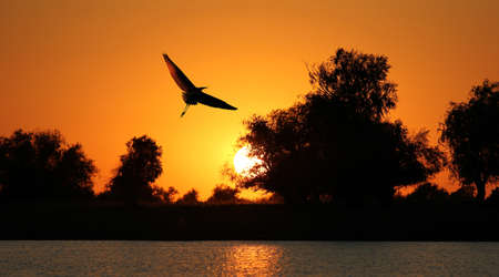 water birds: silhouette flying up heron on a background of a sunset