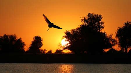 pajaros: silueta volando garza sobre un fondo de una puesta de sol