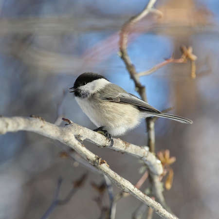 fluffy chickadee sitting on a branch close-up photo