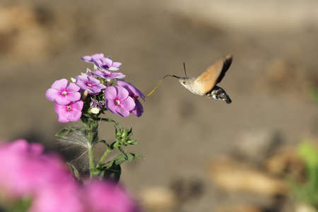 pollinator: hawk moth in flight collecting pollen on bright pink flowers Stock Photo