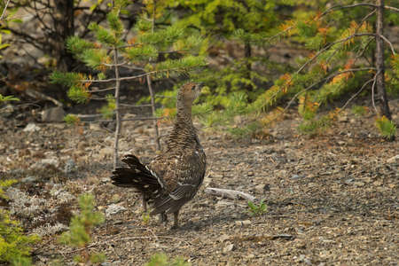 seldom: young capercaillie sitting on the ground on a background of a bush